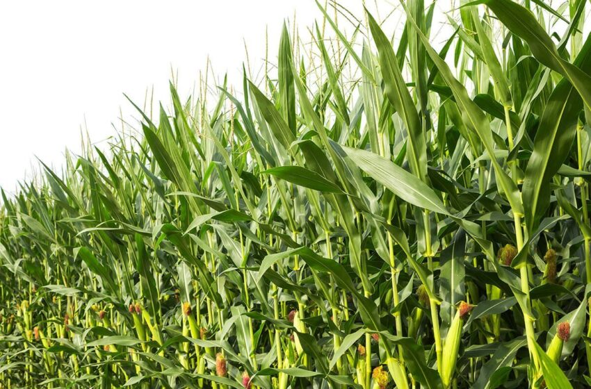 Federal government approves new maize variety, Tela Maize for cultivation in Nigeria